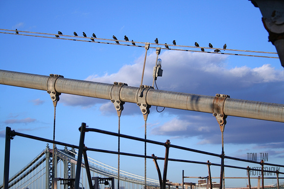 Brooklyn Bridge Birds